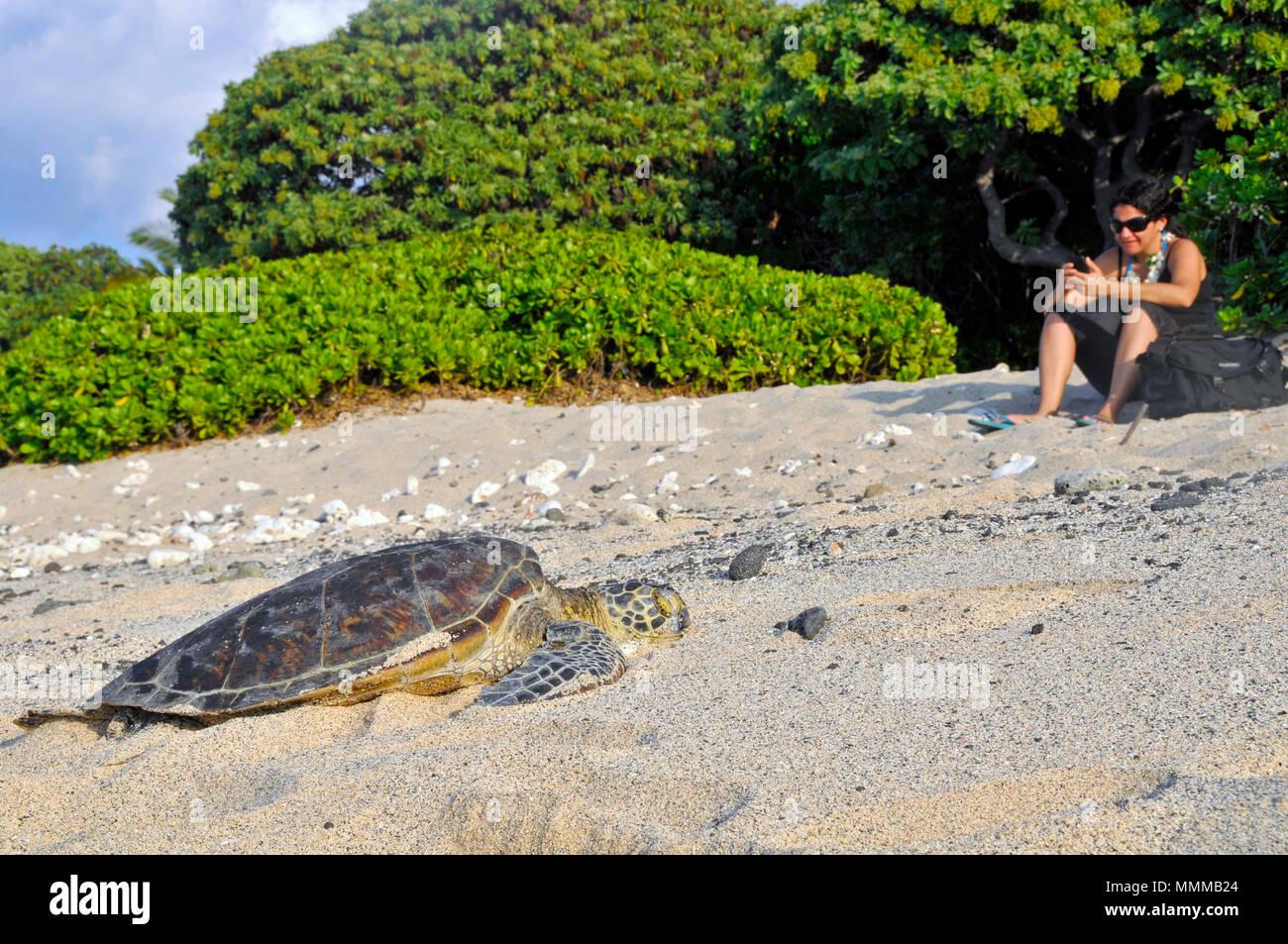 Femme sur son portable alors qu'une tortue verte, Chelonia mydas, dort sur la plage, Kailua-Kona, Big Island, Hawaii Photo Stock