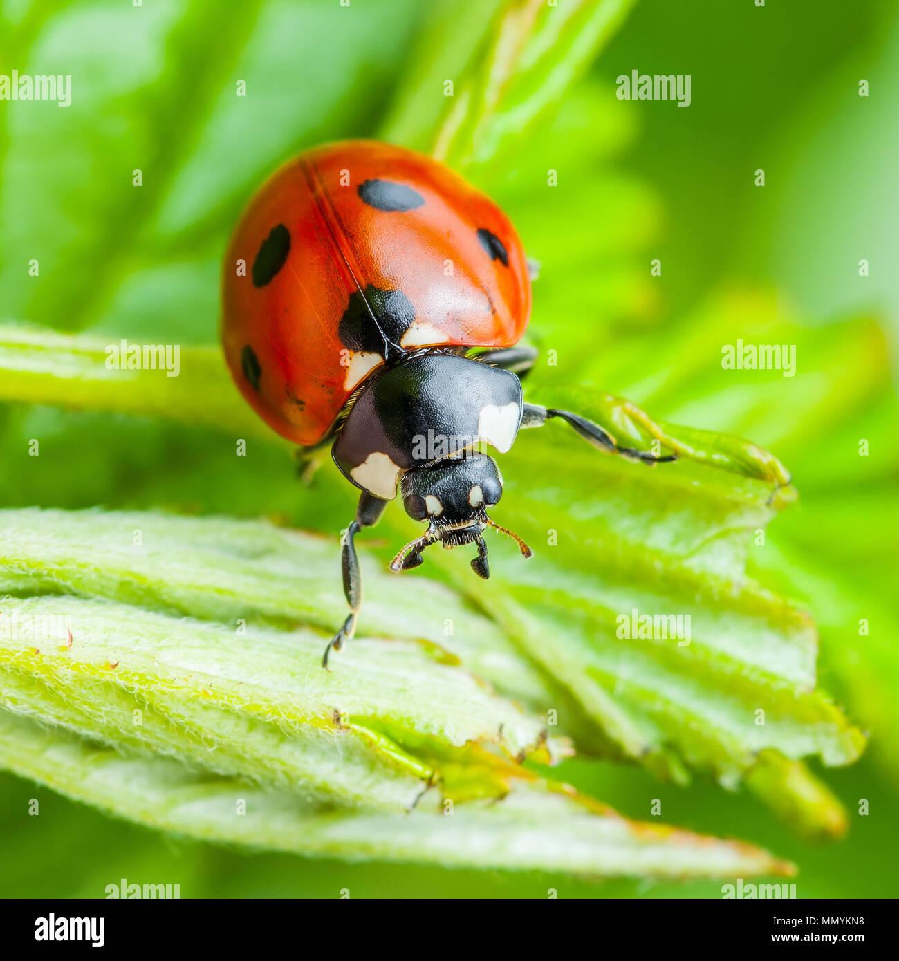 Coccinelle insecte sur feuille Macro Photo Stock