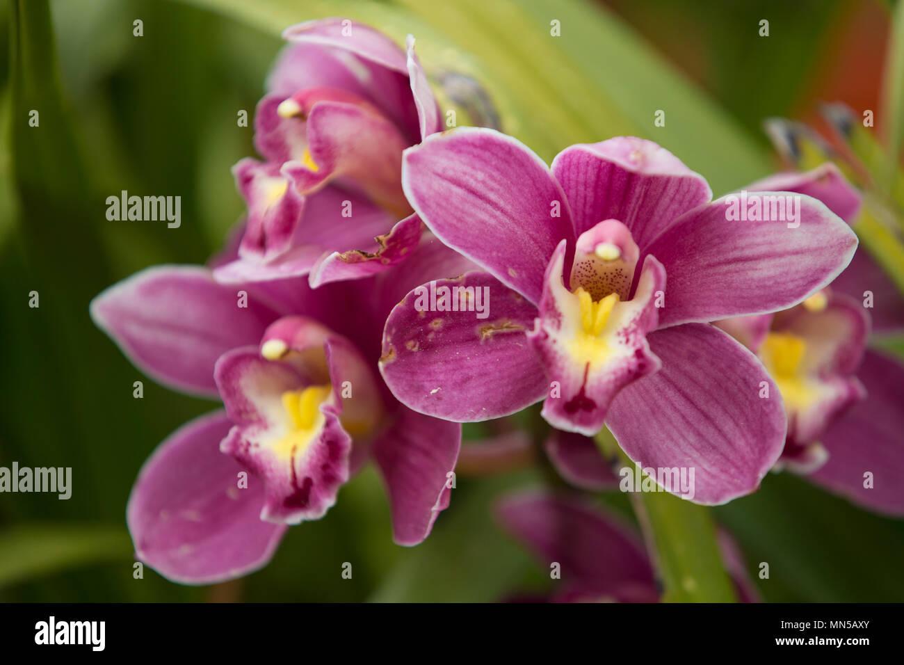 Orchidée fleur dans le jardin d\'orchidées à l\'hiver ou au printemps ...