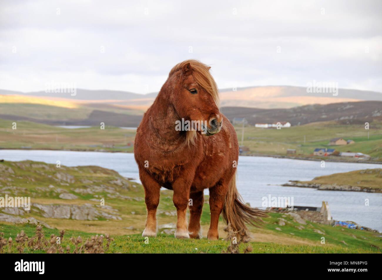 Lone poney Shetland sur les collines du Shetland Photo Stock