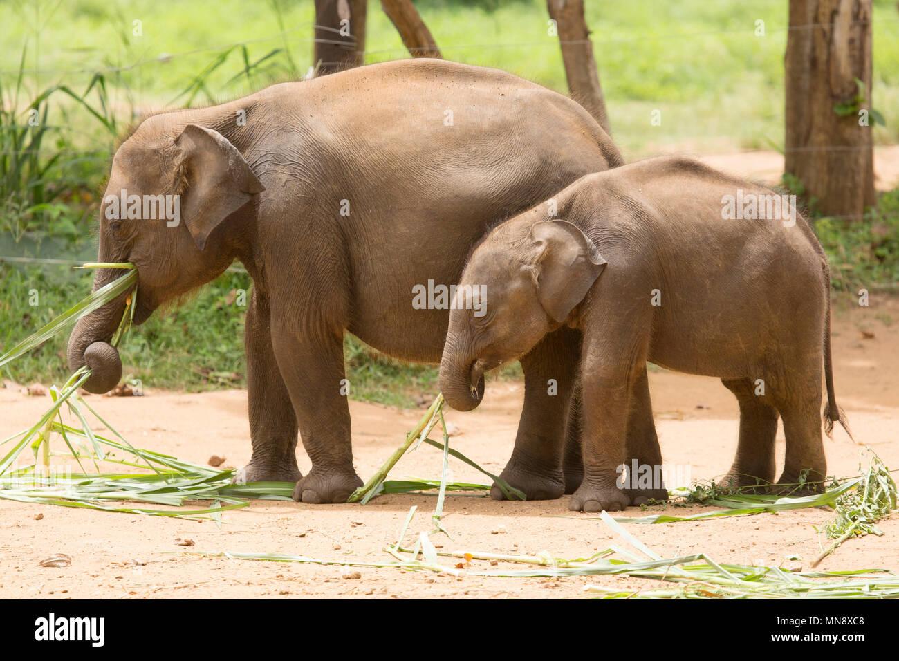 Les éléphants se nourrissaient dans les Udwawalawe Uwawalawe Accueil Transit éléphant au parc national au Sri Lanka. Photo Stock