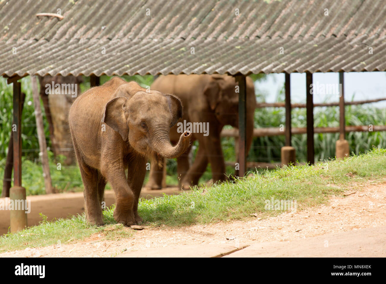 Les éléphants à l'éléphant d'Udwawalawe Uwawalawe Transit Accueil au parc national au Sri Lanka. Photo Stock