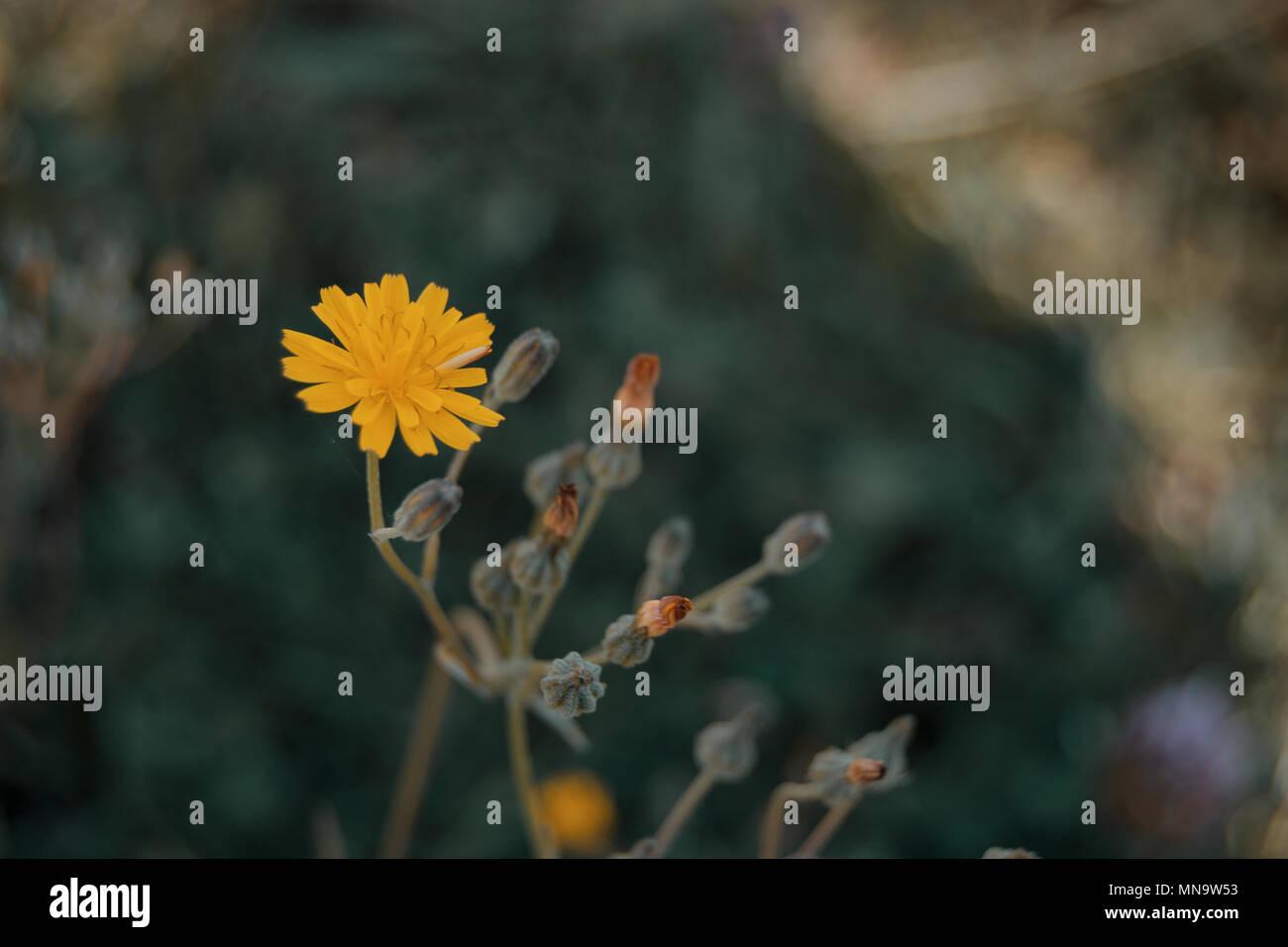 Fleur jaune d'lactuta virosa dans la nature Photo Stock