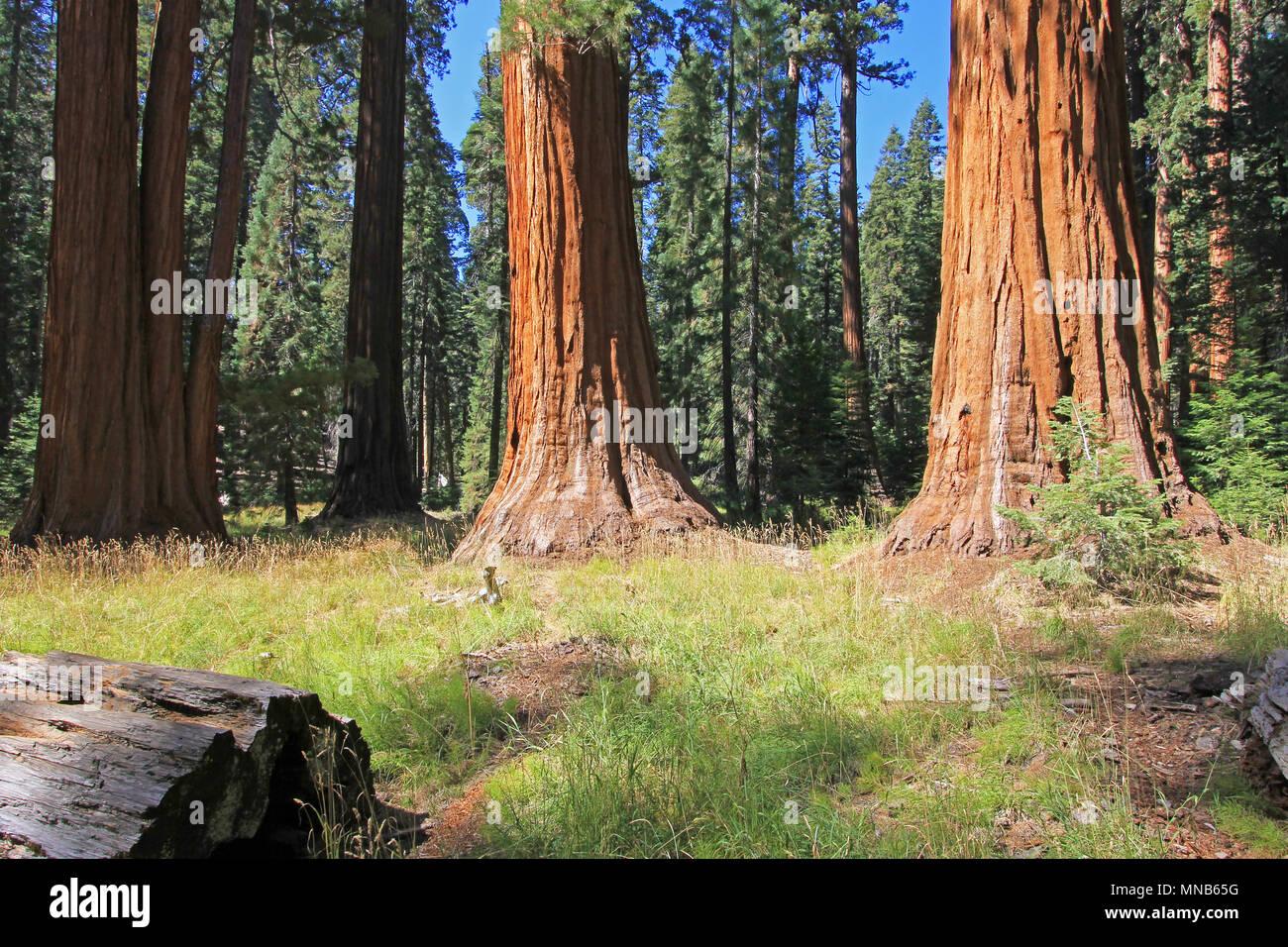 Les arbres Séquoia géant à Sequoia National Park, Californie Banque D'Images