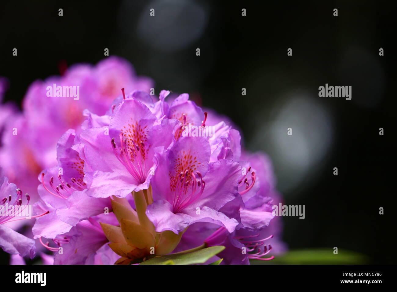 Couleur Lavande Rose Rhododendron En Close Up Avec Copie Espace De