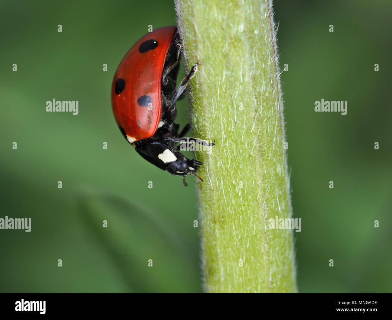 Coccinella septempunctata, les sept-spot ladybird, sur une tige de la plante verte Photo Stock