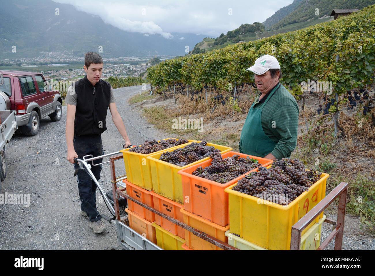 Bacs de vendangeurs et rempli de raisins rouges dans un vignoble durant la saison des récoltes, près de Chamoson, vallée du Rhône, Canton du Valais, Suisse. Photo Stock