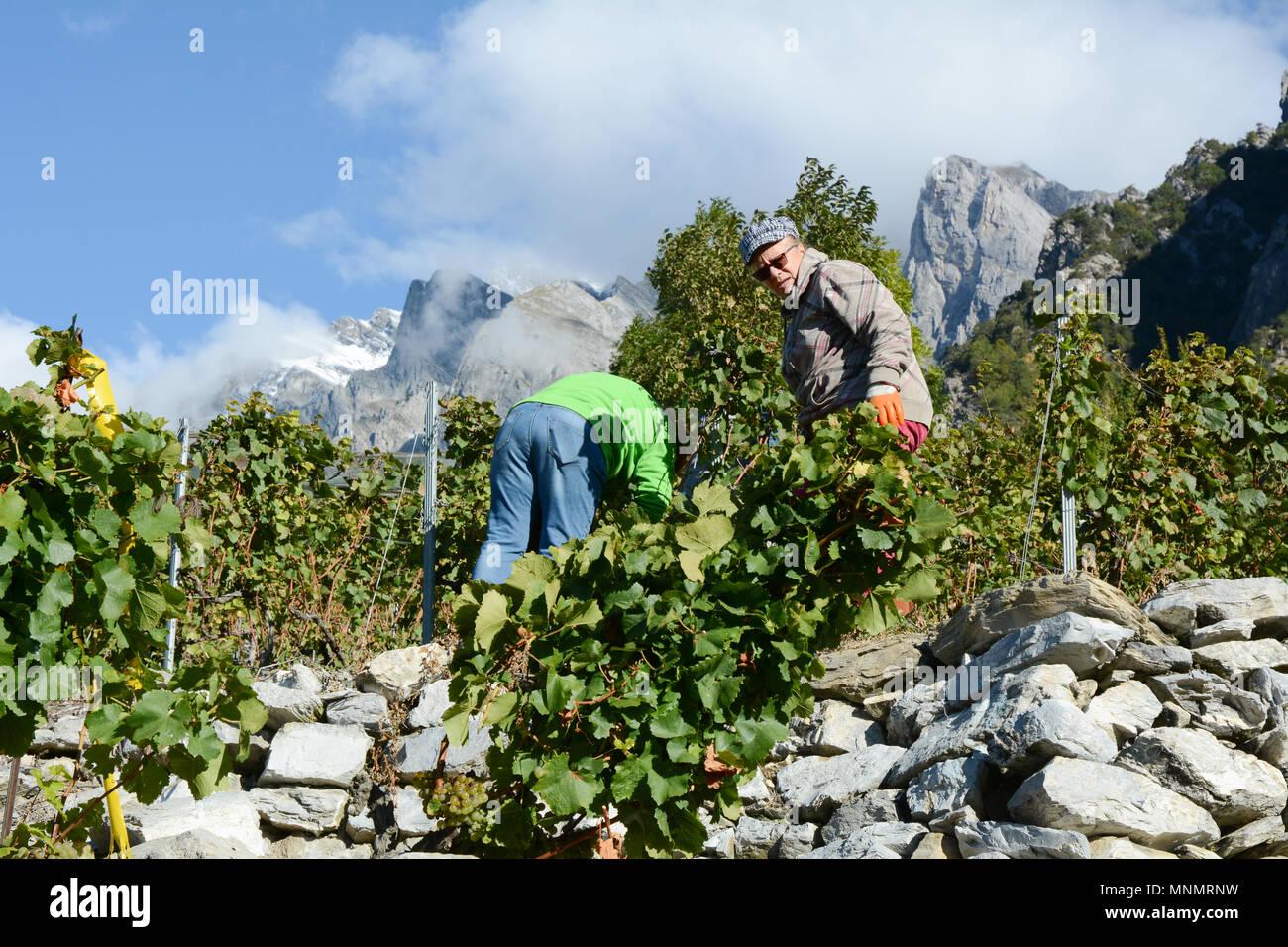 Vendangeurs de vin dans un vignoble de montagne pendant la saison des récoltes, près de la ville de Chamoson, vallée du Rhône, Canton du Valais, Suisse. Photo Stock