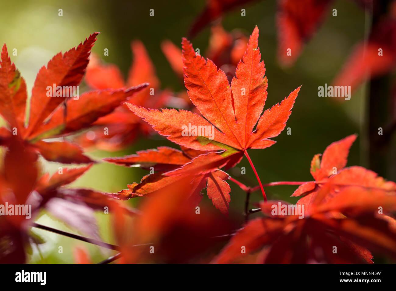 Les feuilles d'automne rouge vif sur un érable japonais décoratif. Banque D'Images