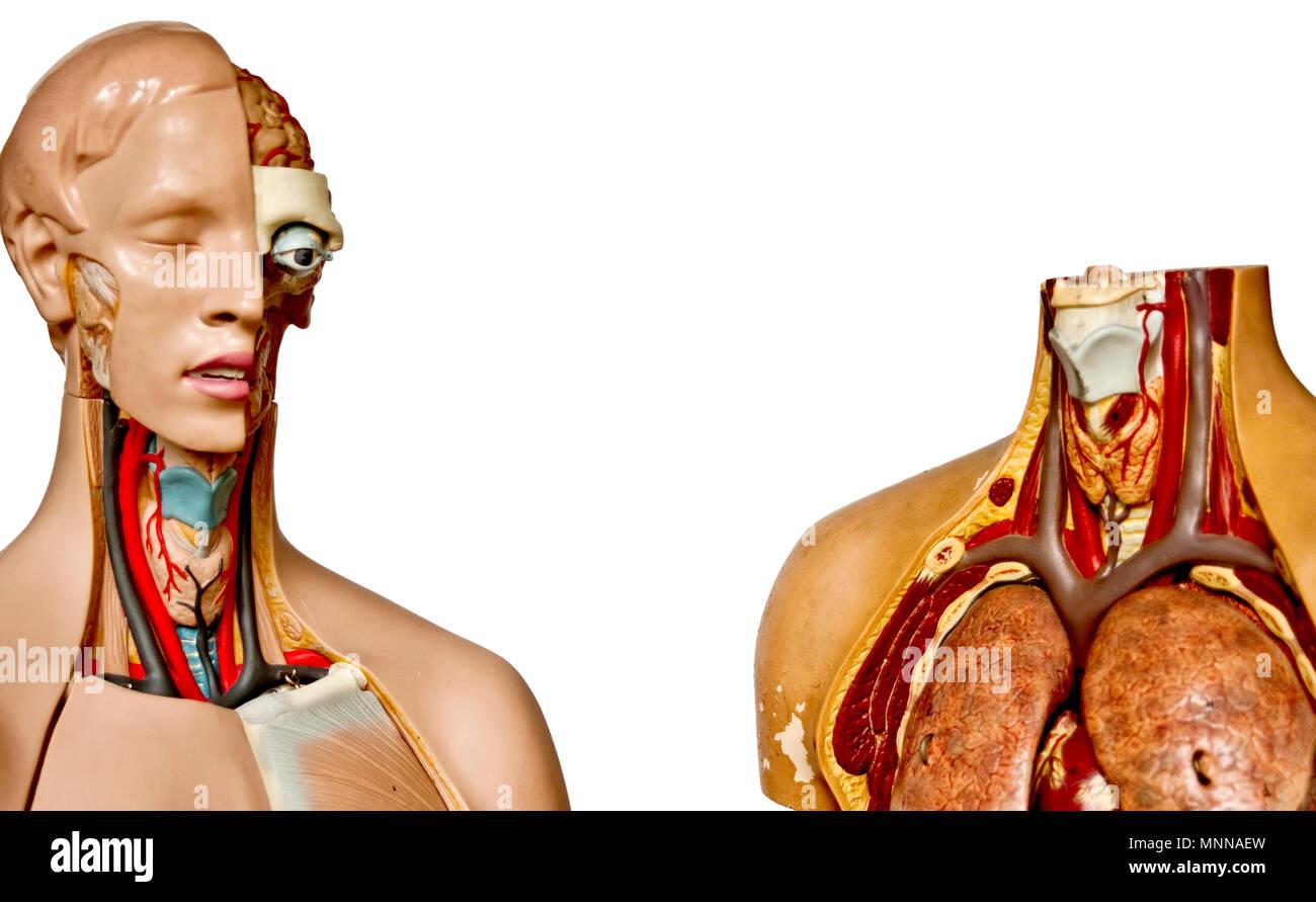 Modèles anatomiques; anatomische modelle Banque D'Images