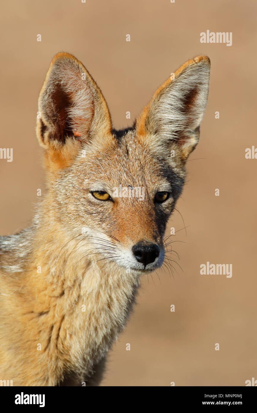 Portrait d'un chacal à dos noir (Canis mesomelas), désert du Kalahari, Afrique du Sud Banque D'Images