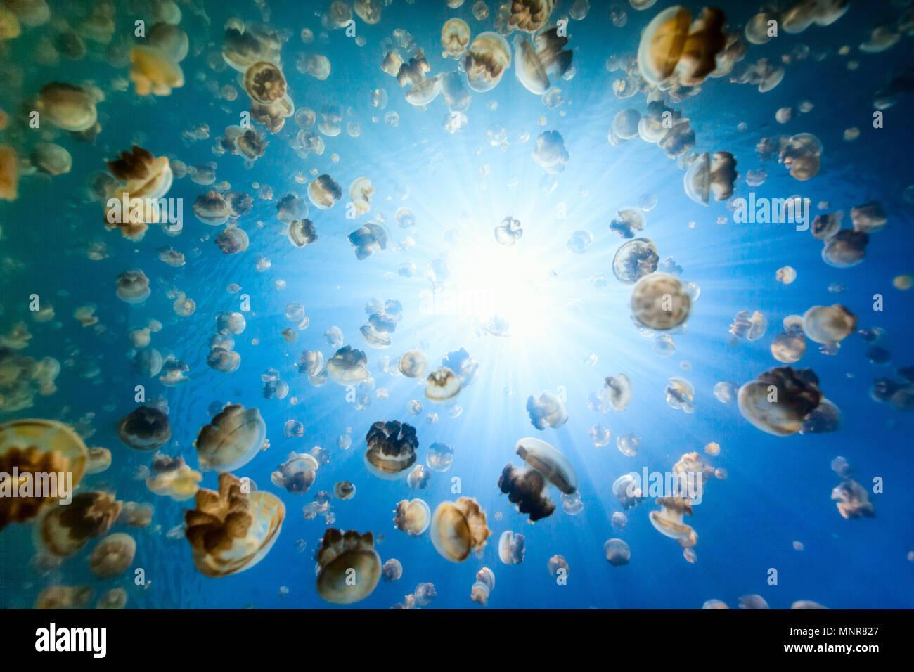 De photo sous-marine dans le lac Jellyfish or endémique à Palau. Plongée avec tuba dans Jellyfish Lake est une activité populaire pour les touristes à Palau. Photo Stock