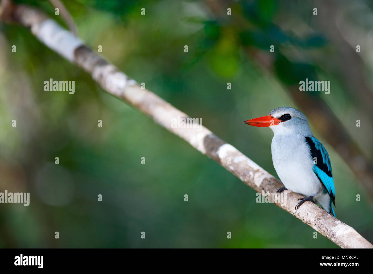 Au Mozambique, l'Afrique Kingfisher Photo Stock