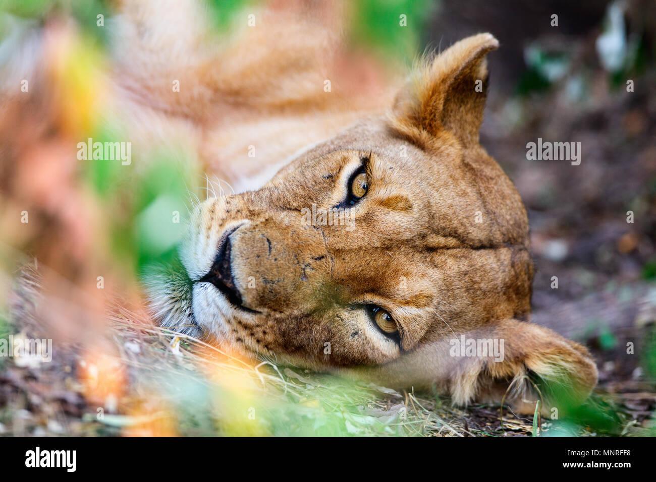 Femme lion en réserve nationale au Kenya Photo Stock