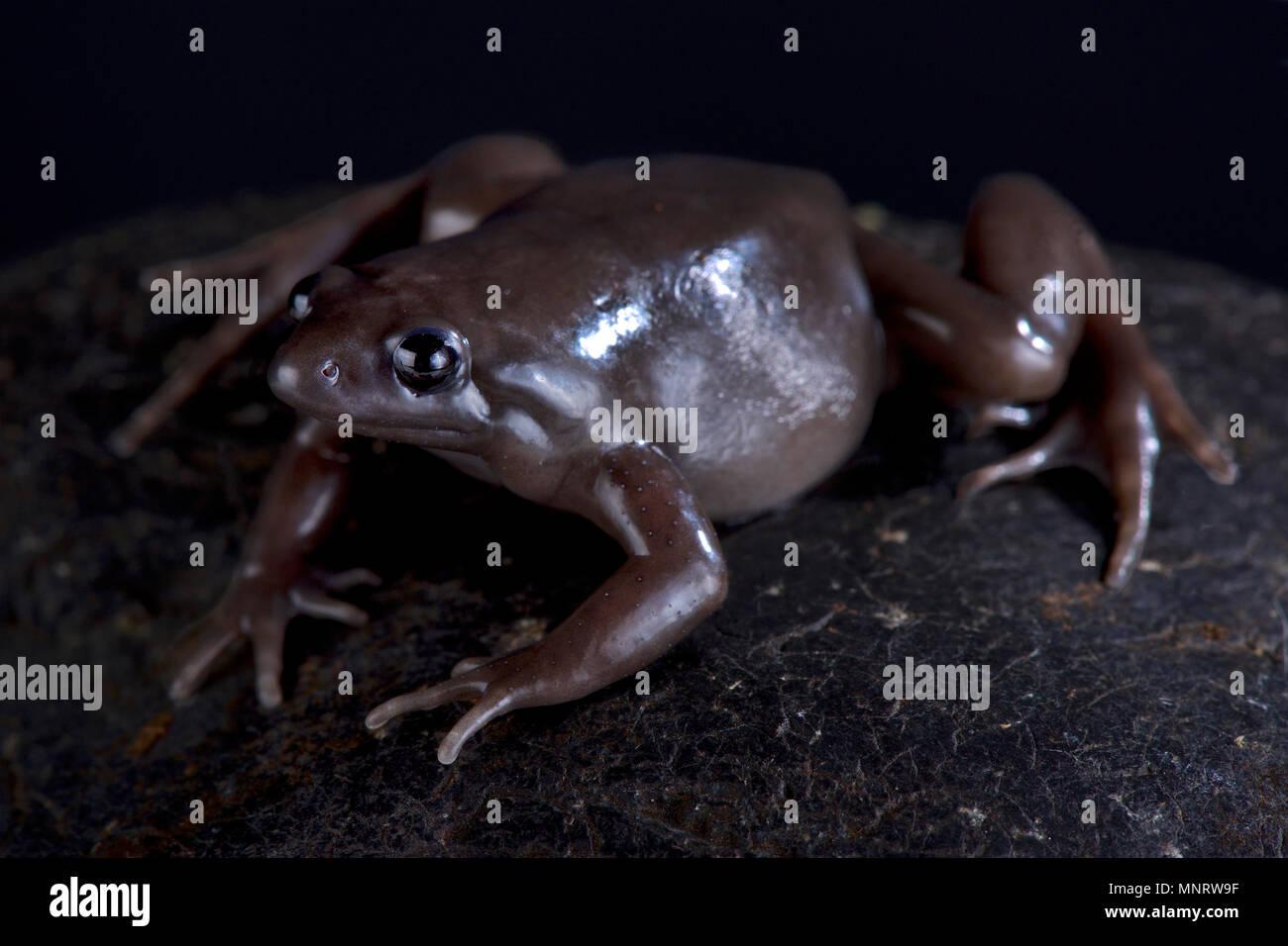 Le Costa Rica Nelson frog (Ctenophryne aterrima) est une puissante terrestres et nocturnes, espèce de grenouille noire trouvés au Panama, Costa Rica et l'Equateur. Photo Stock