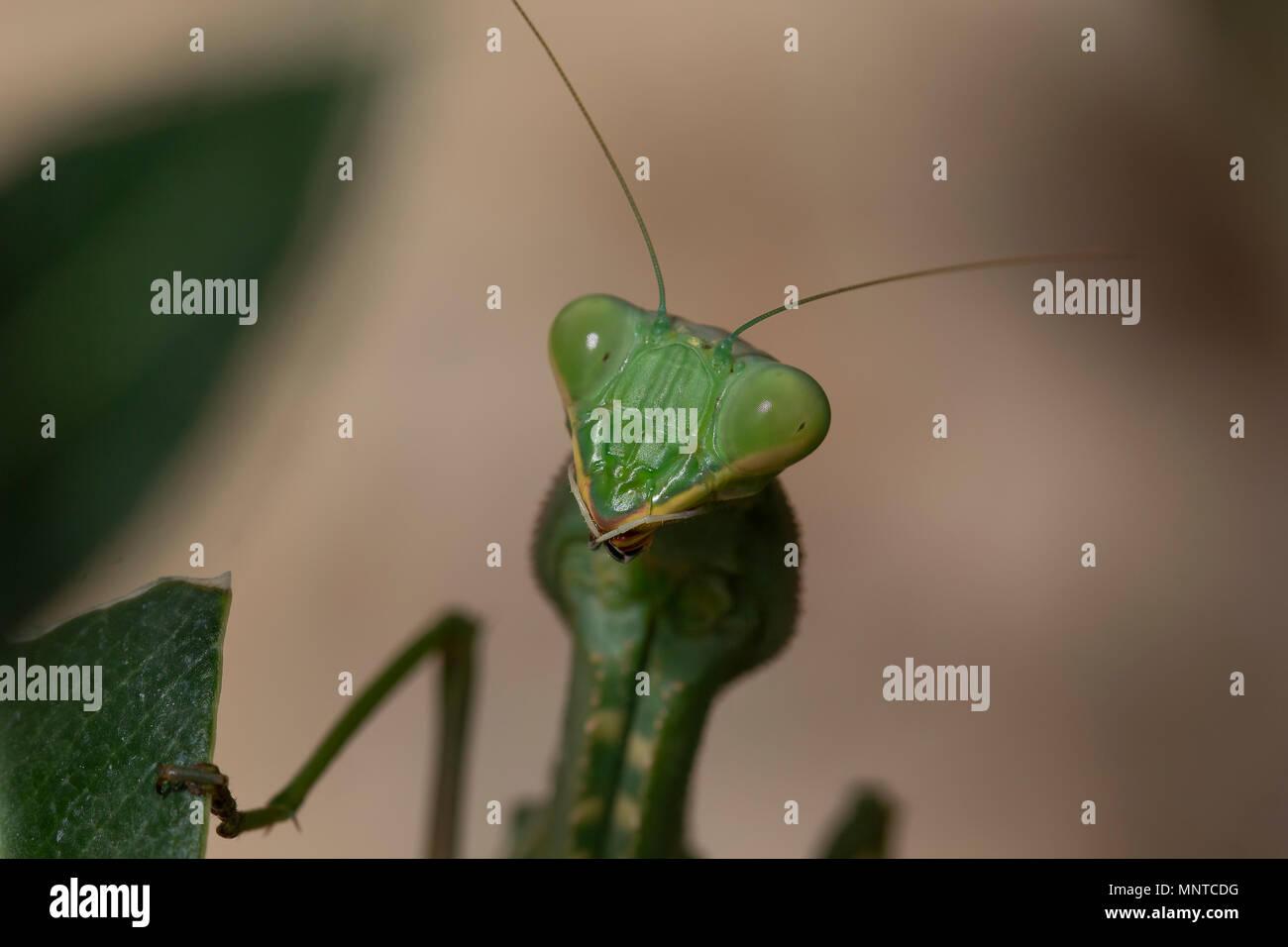 Giant African mantis, Sphodromantis viridis dans la nature entre un buisson dans un jardin à Chypre au cours du mois de mai. Photo Stock
