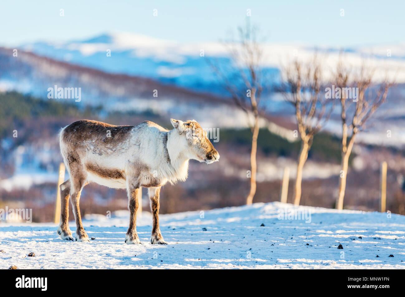 Rennes mâles sauvages dans le Nord de la Norvège avec des fjords époustouflants paysages de jour d'hiver ensoleillé Photo Stock