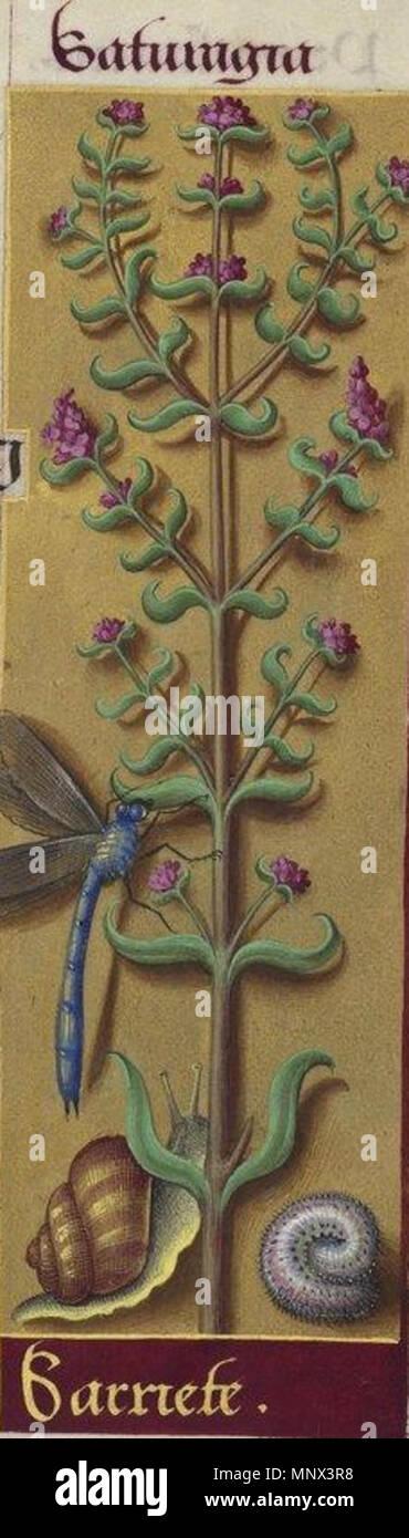 . English: Sarriette . 20 mars 2014, 20:09:43. Grandes Heures d'Anne de Bretagne 1500-1520 1096 Sarriette2 Photo Stock