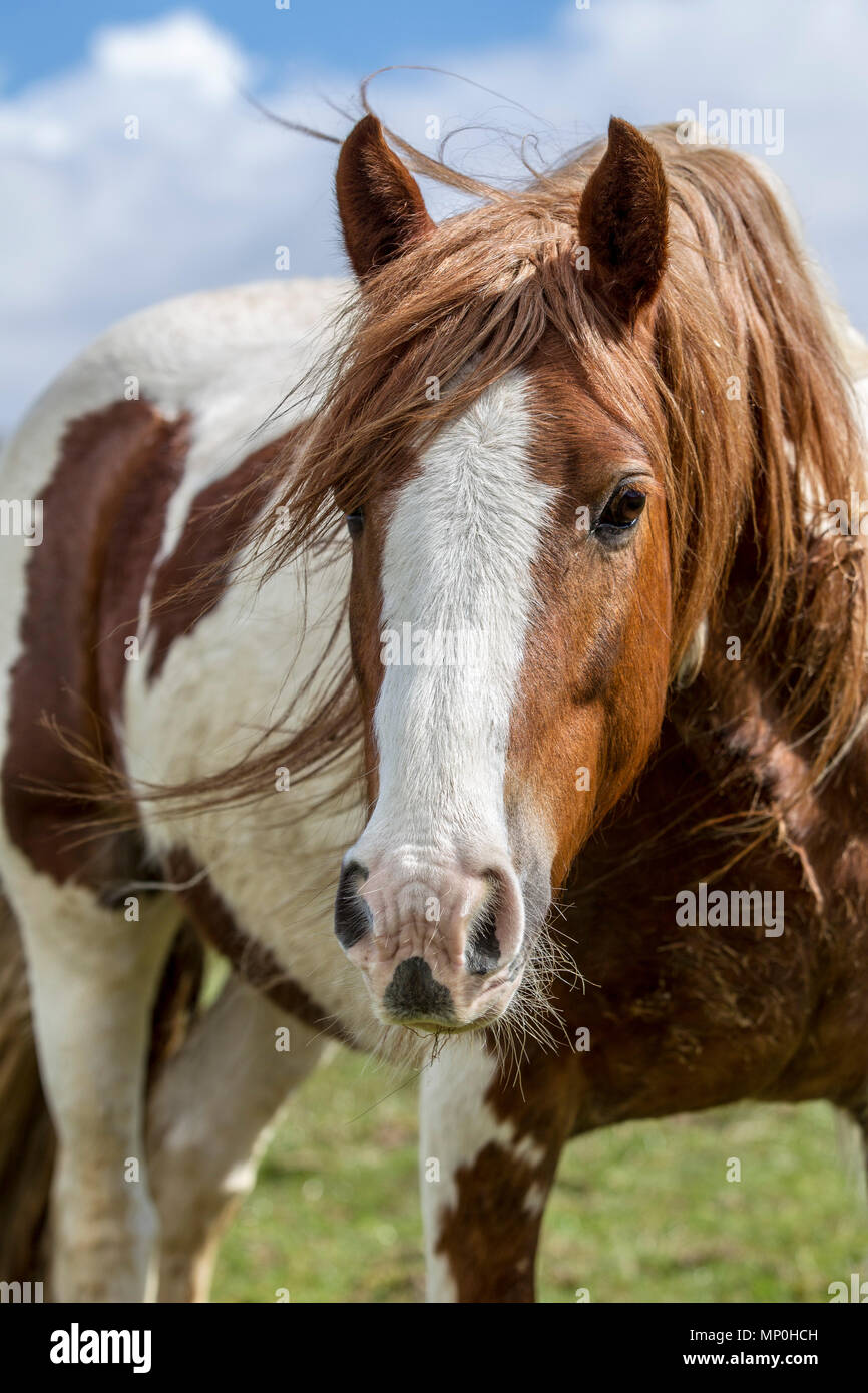 Dans la zone de pâturage de chevaux Photo Stock