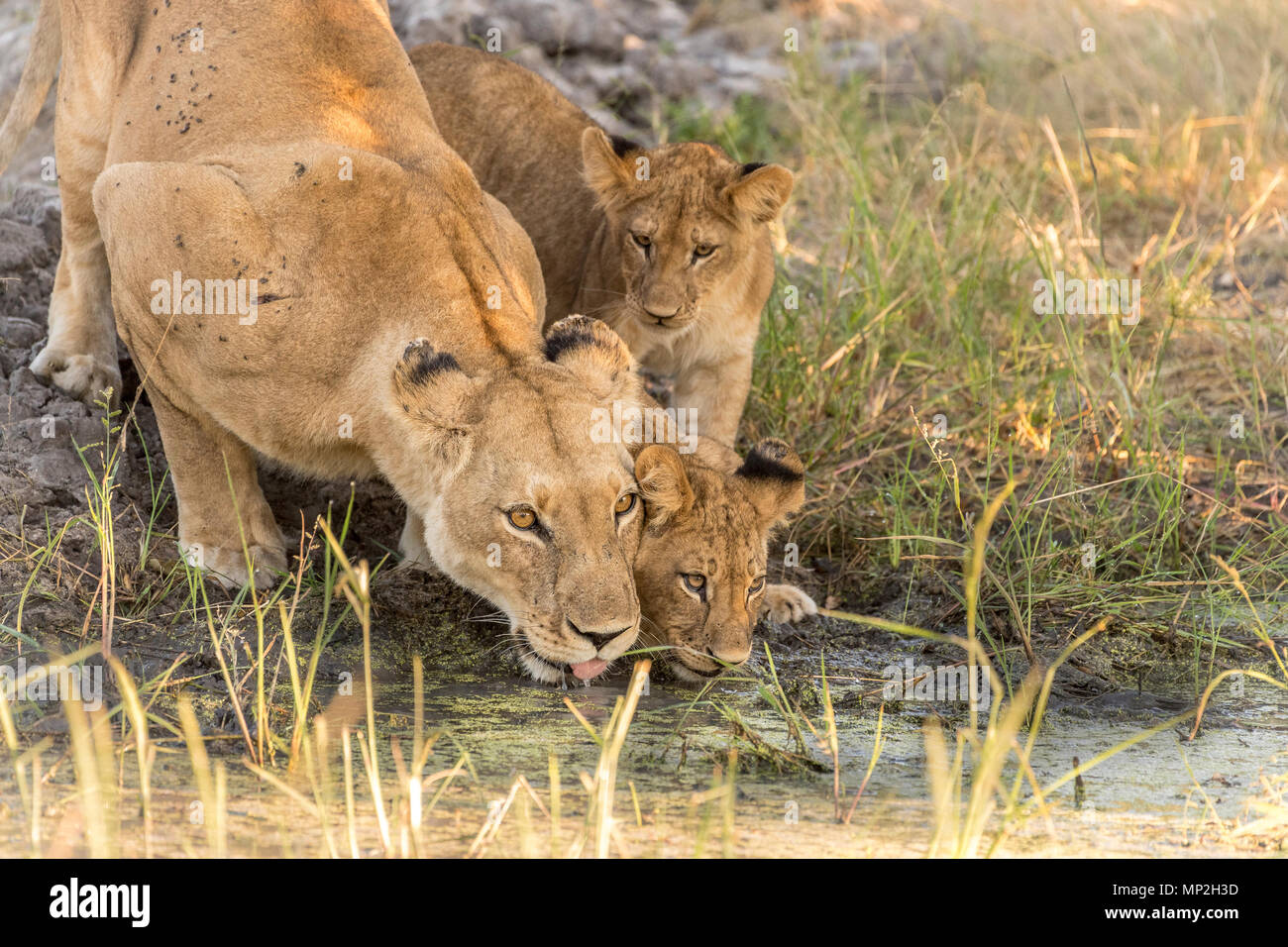 Lionne avec de l'eau potable d'oursons dans vumbera dans le delta de l'Okavango au Botswana Banque D'Images