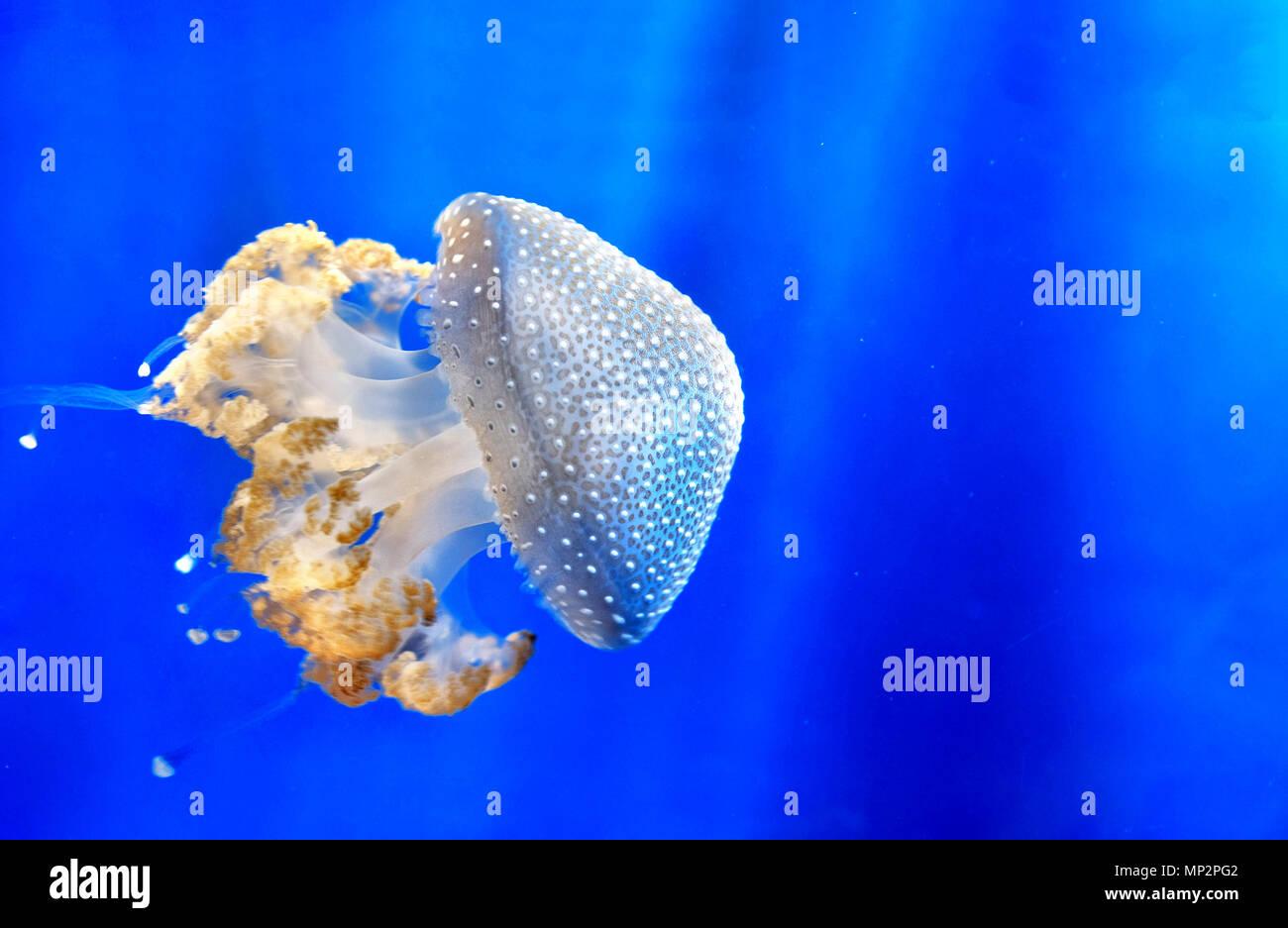Repéré blanc flottant méduses méduses méduse tachetée australienne bell bleu profond de l'arrière-plan sous-marin Photo Stock