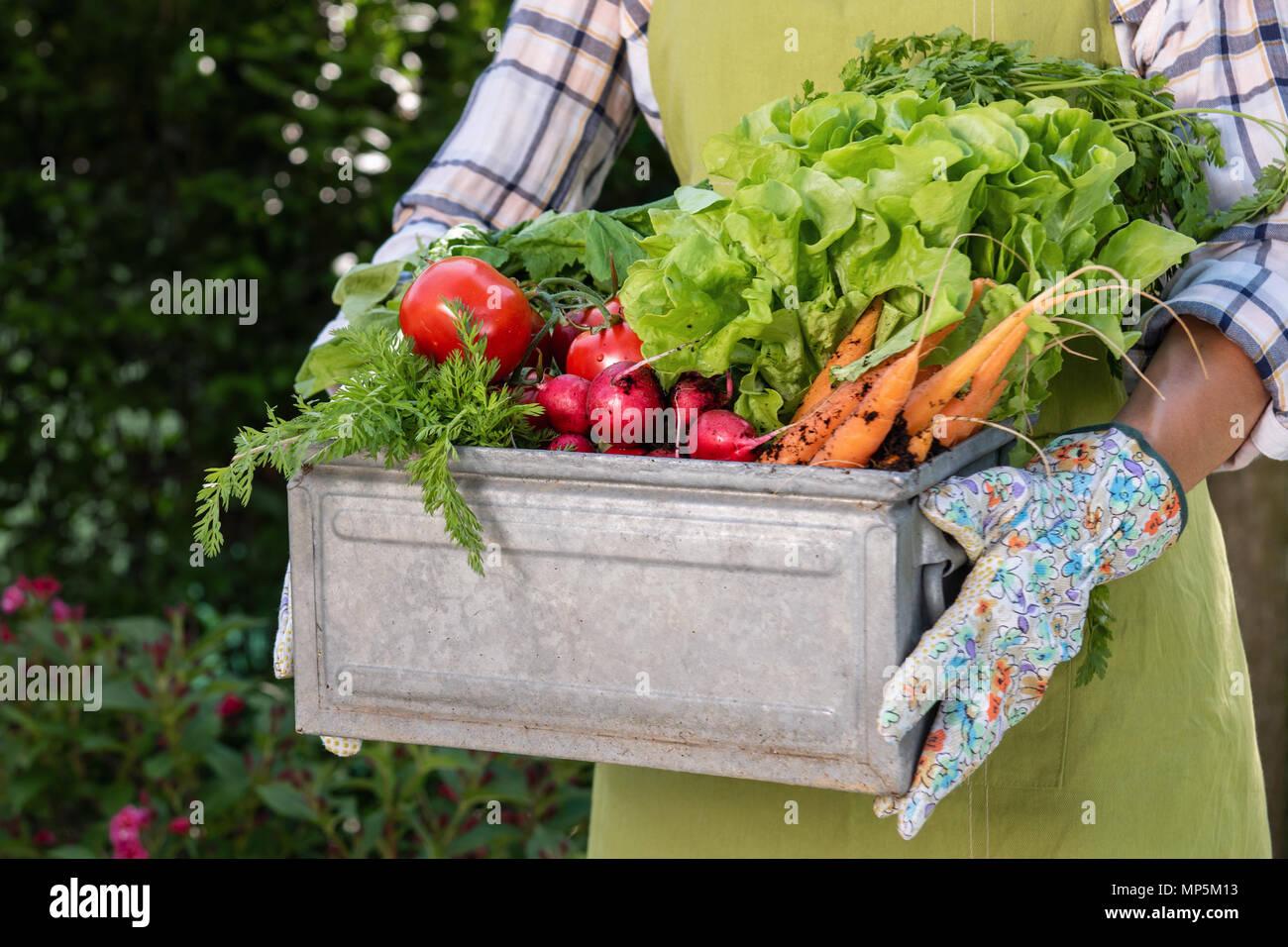 Méconnaissable female farmer holding caisse pleine de légumes fraîchement récoltés dans son jardin. Homegrown bio produit concept. La vie durable. Banque D'Images