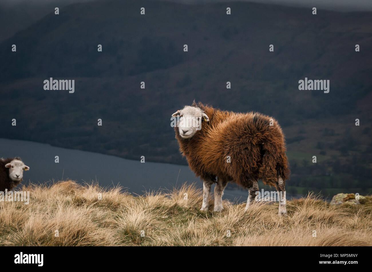 Les moutons Photo Stock