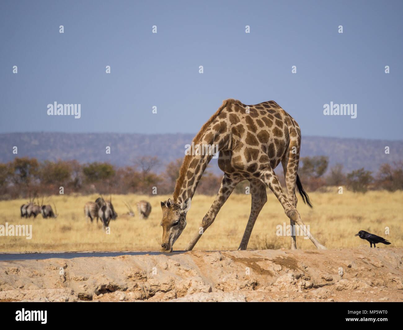 Girafe en se penchant pour boire à un trou d'eau dans le parc national d'Etosha, Namibie, Afrique du Sud Photo Stock