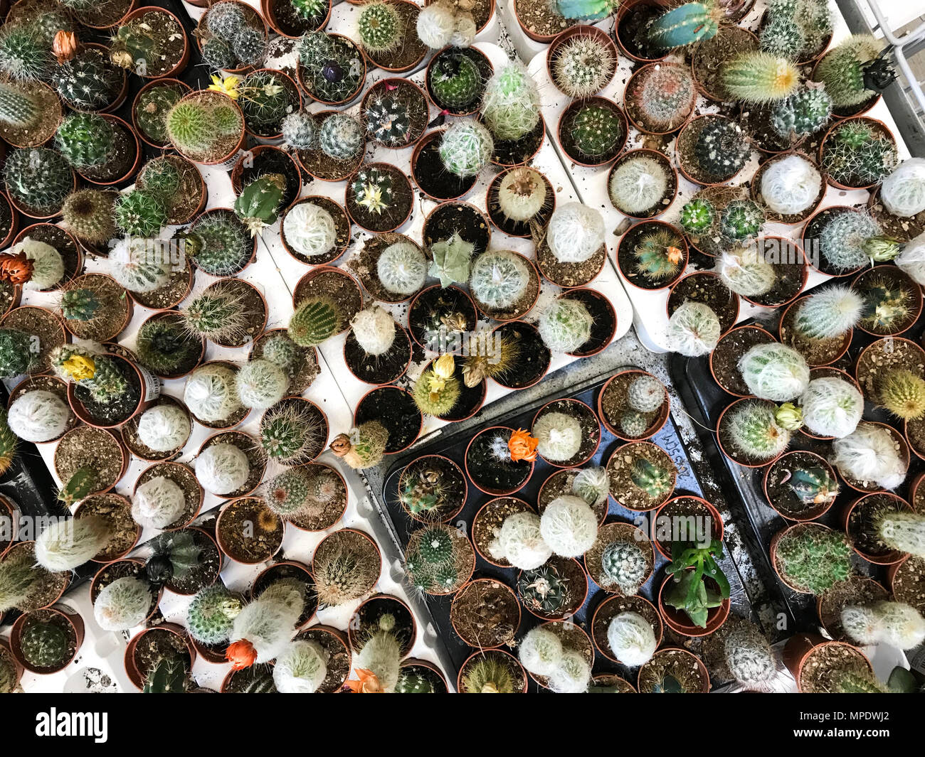 Variété de fleurs de cactus pour la vente. Jardin Concept Banque D ...