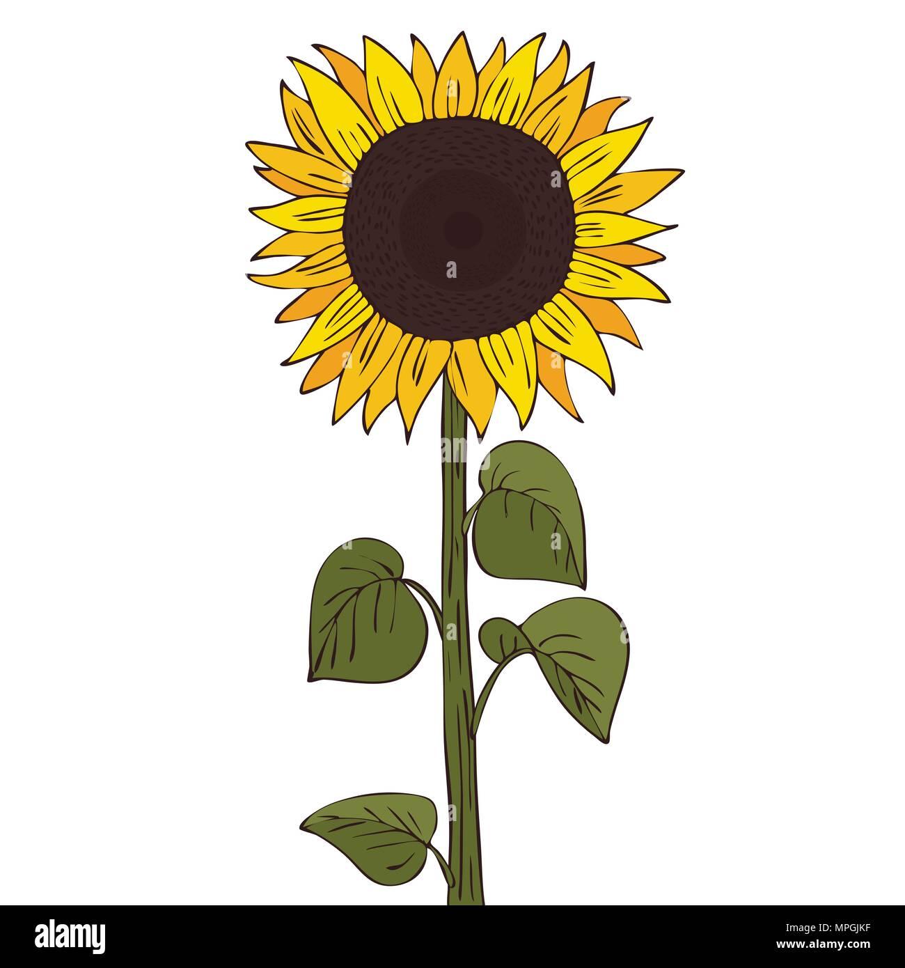 Isoler l'helianthus ou tournesol sur fond blanc. Close up avec ombre clipart dans télévision cartoon style réaliste. L'icône de la main Photo Stock