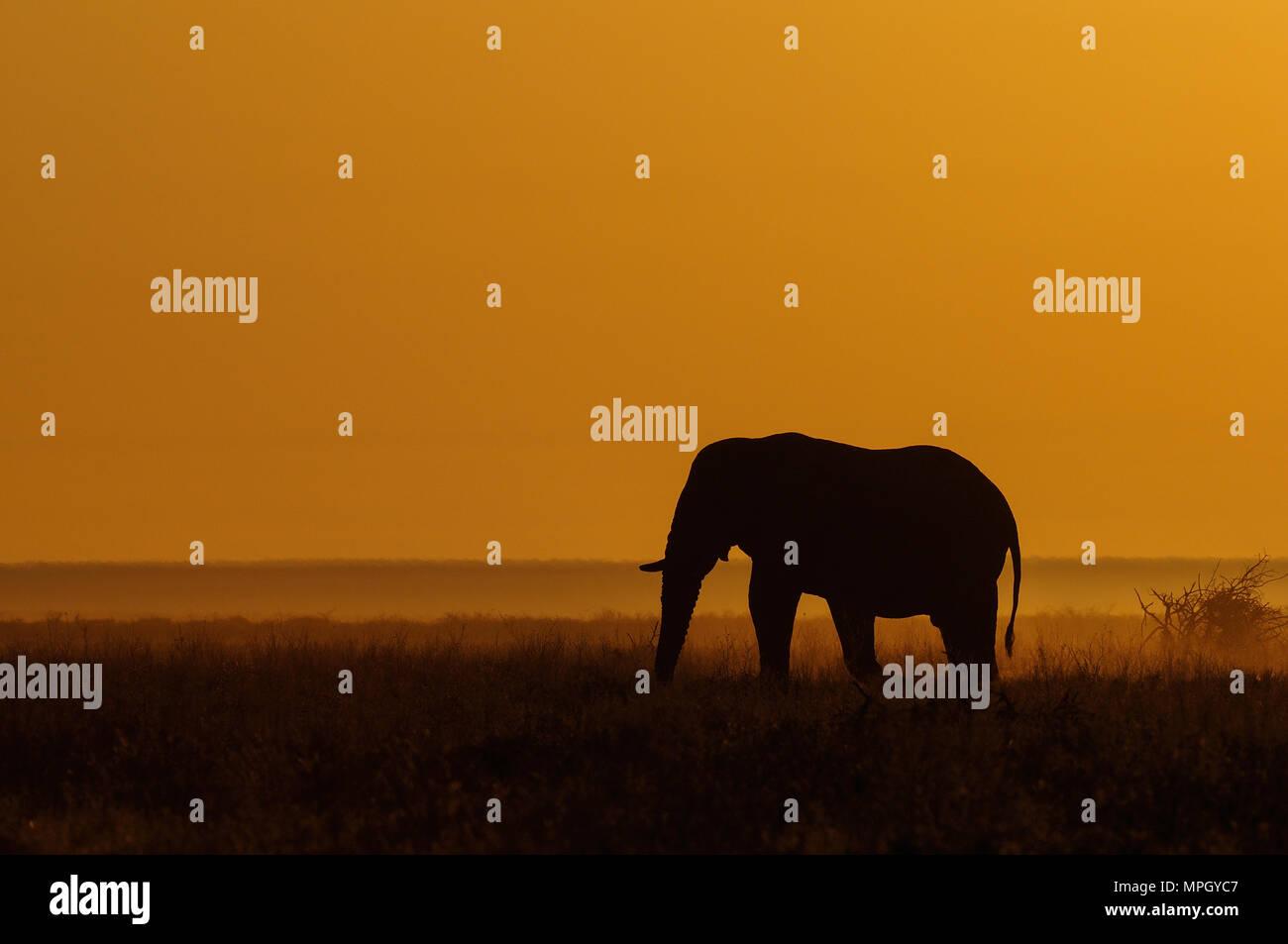 Éléphant dans une prairie avec sunrise, parc national d'Etosha, Namibie, (Loxodonta africana) Photo Stock