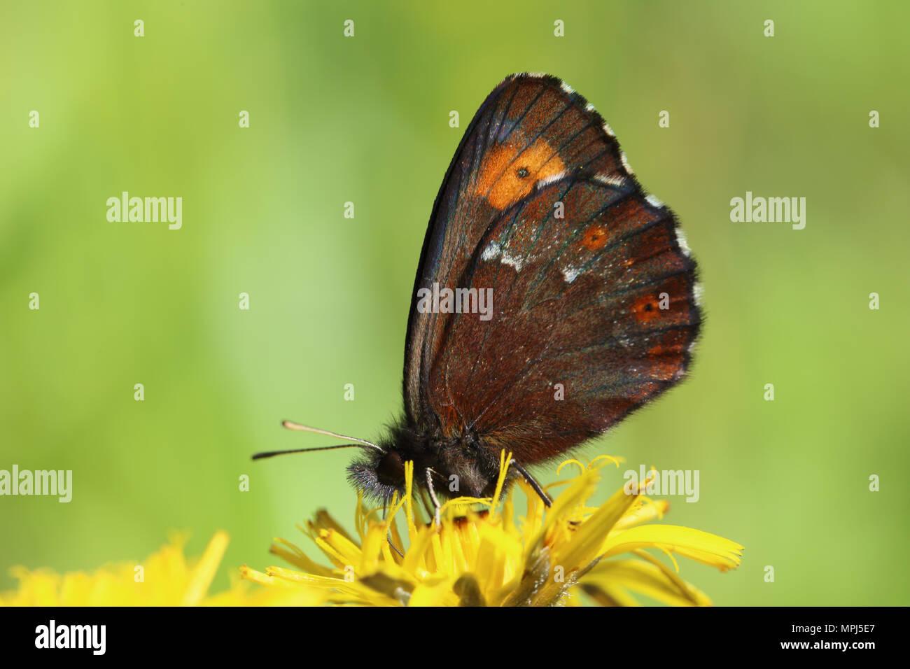 Grand (Erebia euryale) Satyre fauve Photo Stock