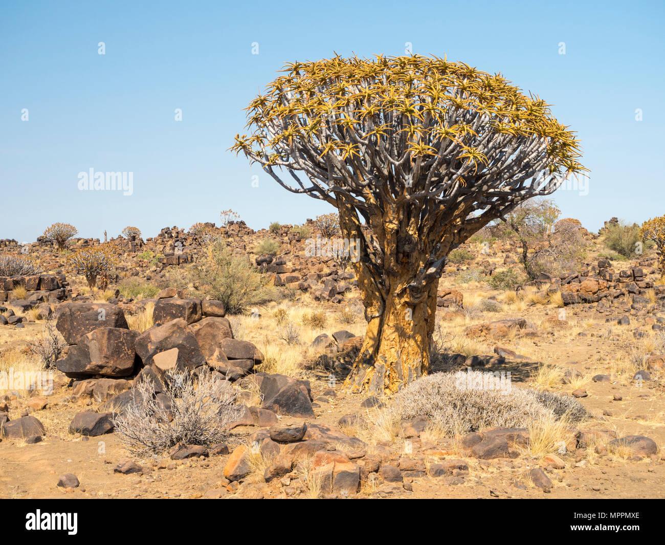 L'Afrique, la Namibie, l'Aloe dichotoma Quiver Tree, Photo Stock