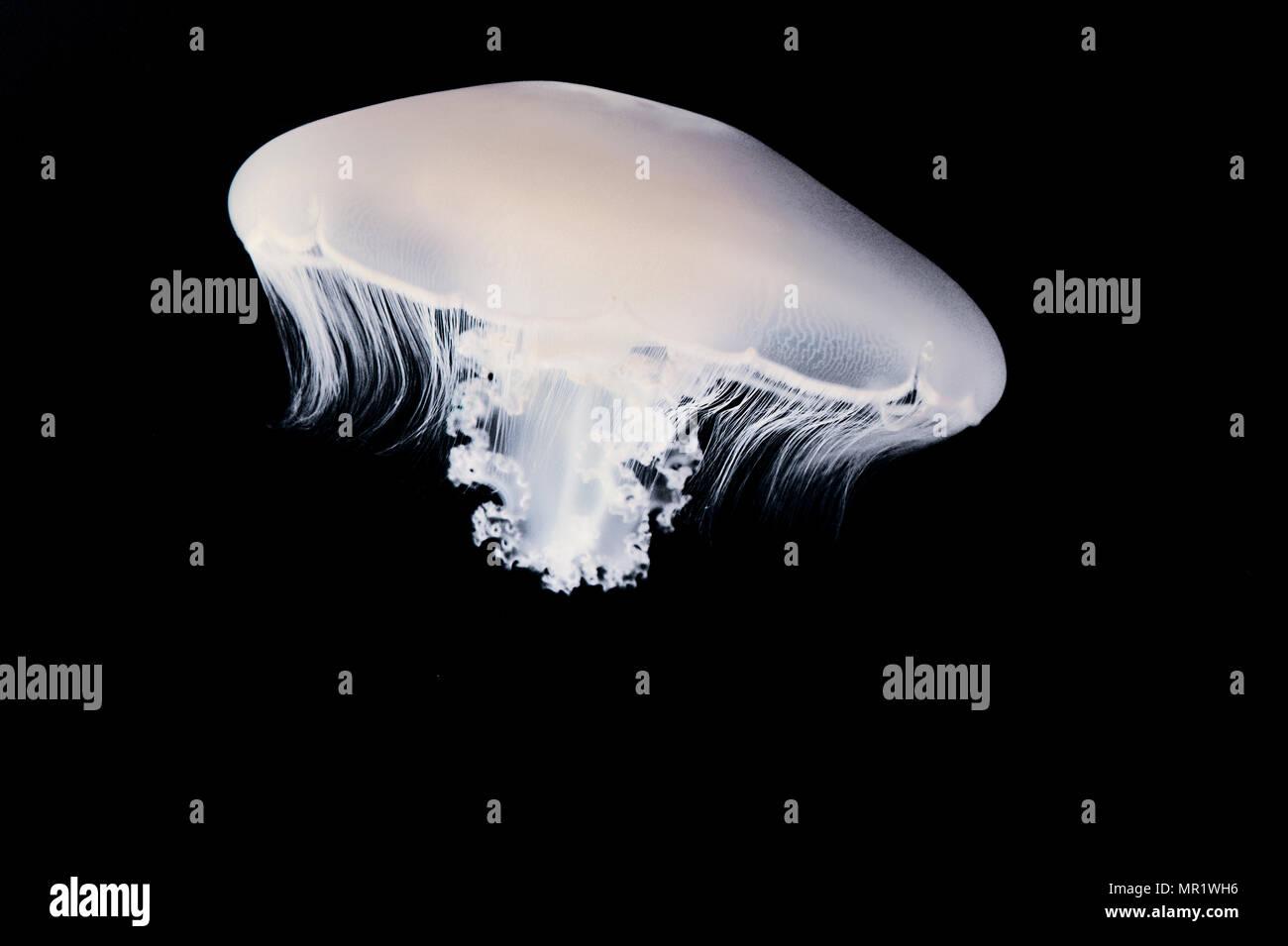 Moon jelly (Aurelia labiata) Photo Stock