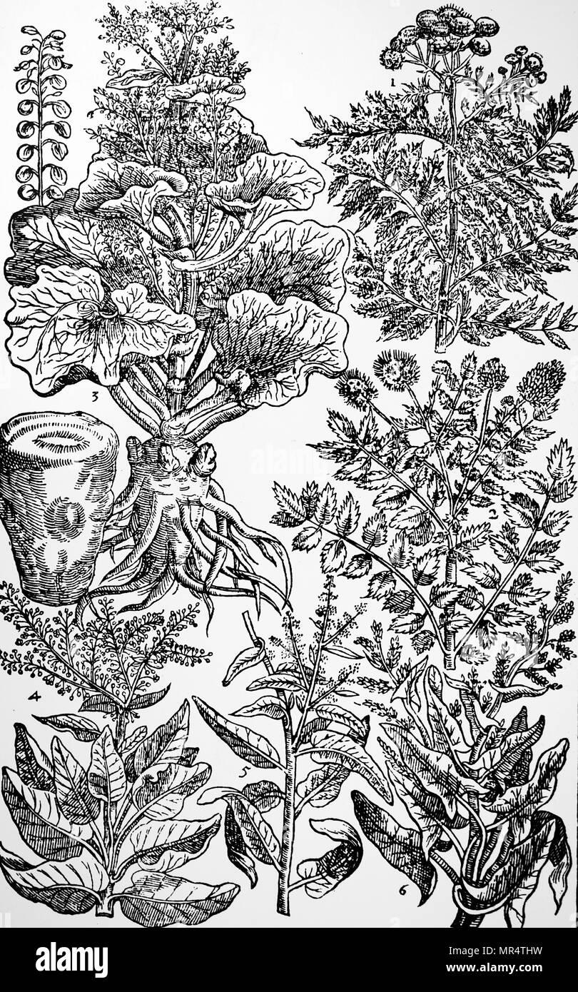 Gravure représentant une sélection de salades et d'herbes médicinales de John Parkinson's 'Paradisi dans Sole Paradisus Terrestris'. John Parkinson (1567-1650) un herboriste et botaniste anglais. En date du 17e siècle Photo Stock