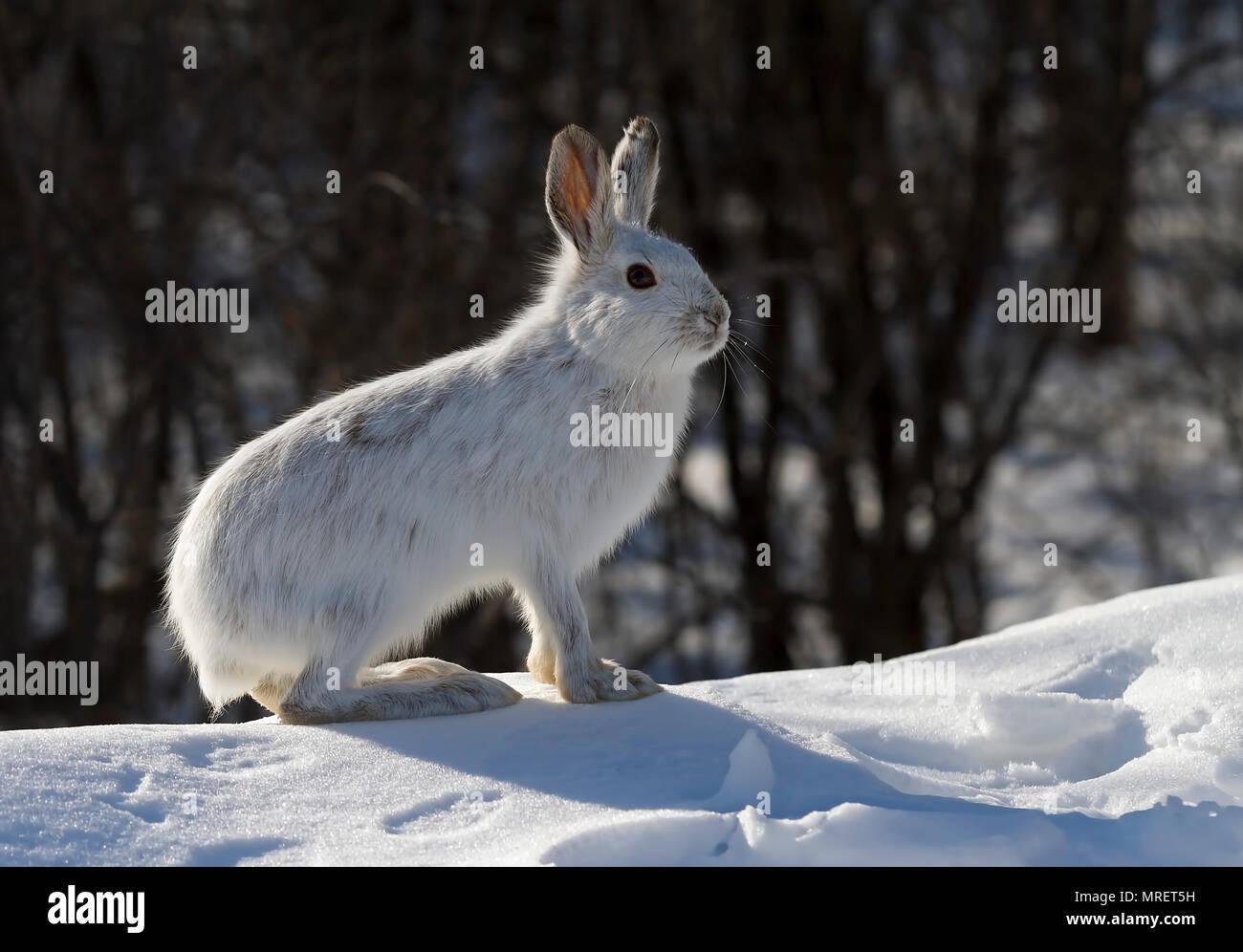 Le lièvre ou diverses espèces de lièvre (Lepus americanus) debout dans la neige avec un manteau blanc en hiver au Canada Photo Stock