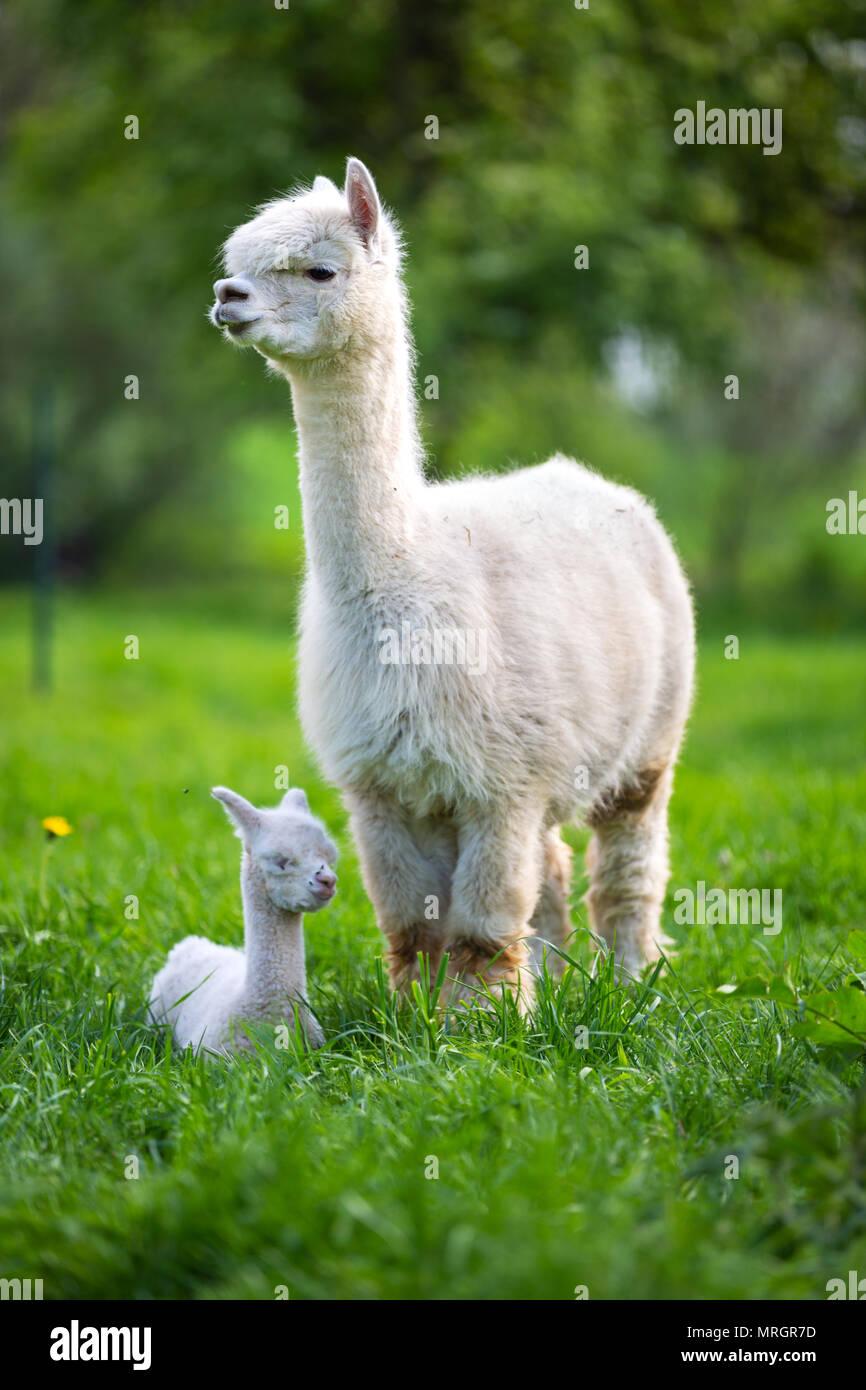 Alpaga blanc avec des petits mammifères d'Amérique du Sud, Photo Stock