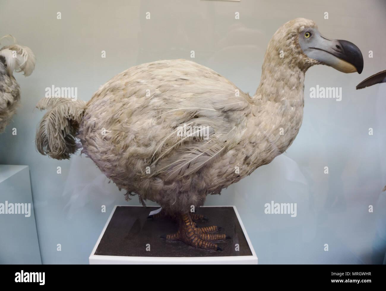 Les spécimens d'extinction de l'île de la réunion dodo, Raphus modèles solitarius Natural History Museum London England Banque D'Images