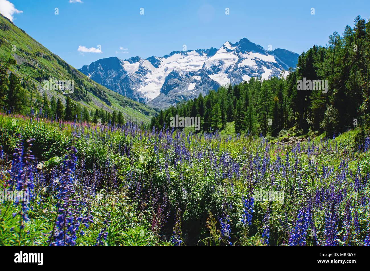 Lupins Fleur Qui S Epanouit Sur Le Magnifique Paysage De Montagnes