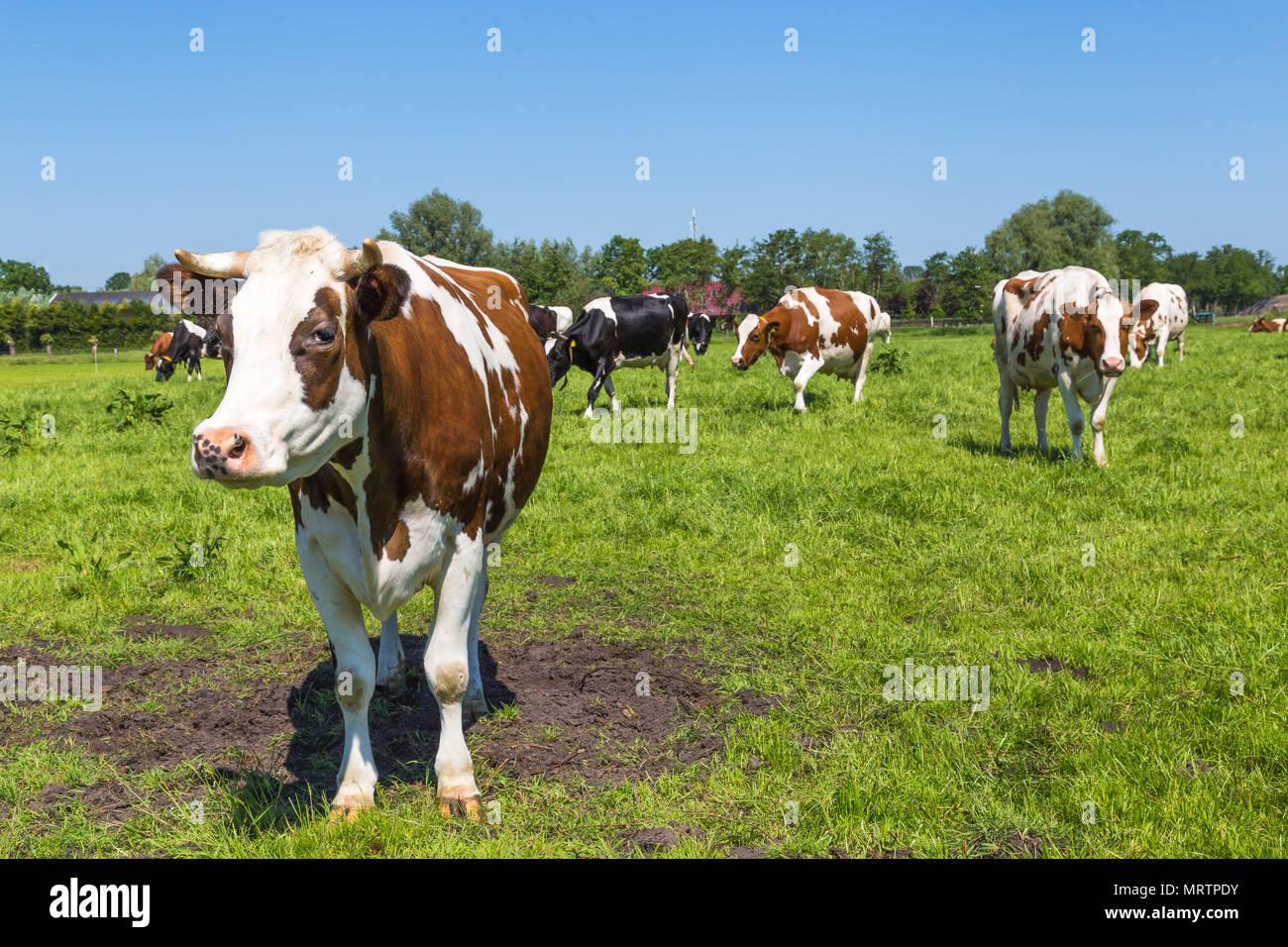 Curieux brown vaches dans le domaine Photo Stock