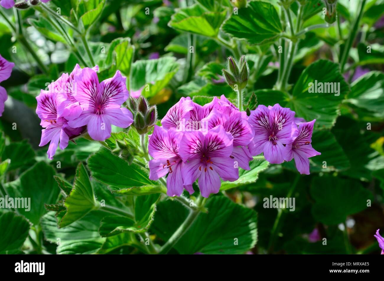 Pelargonium Cucullatum Fleurs Mauve Sauvage Banque D Images Photo