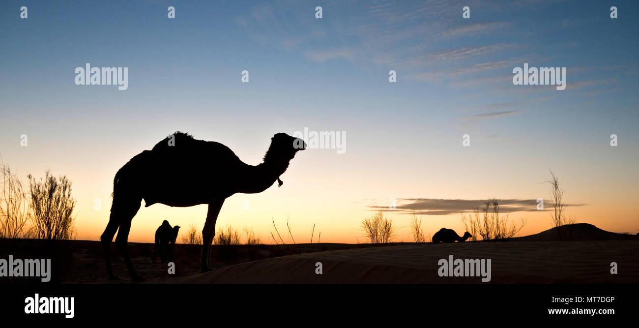 Silhouette d'un chameau au coucher du soleil dans le désert du Sahara, la Tunisie du Sud Photo Stock