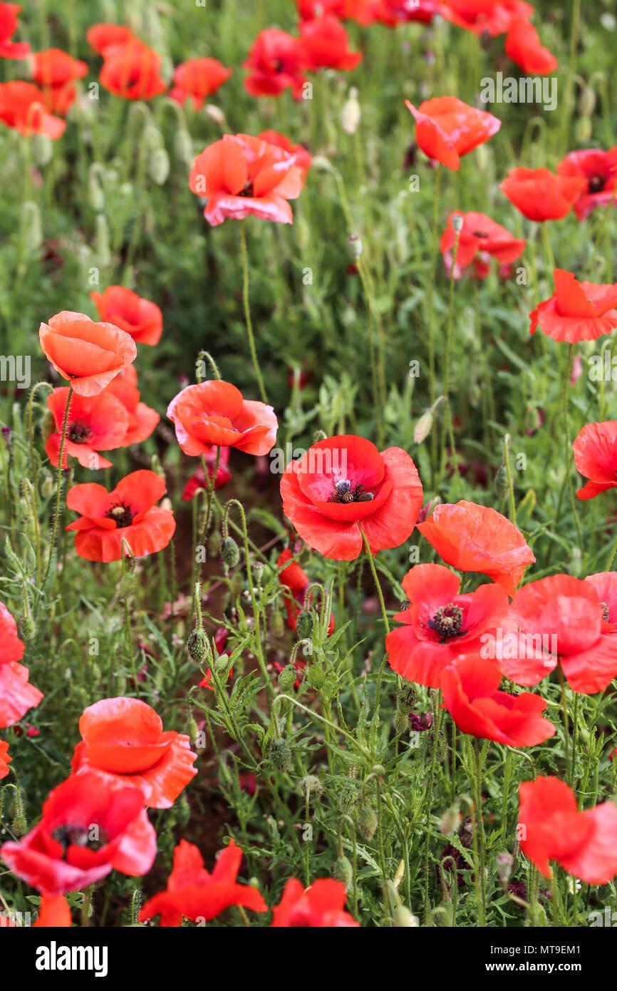 Champ de fleurs de pavot Photo Stock