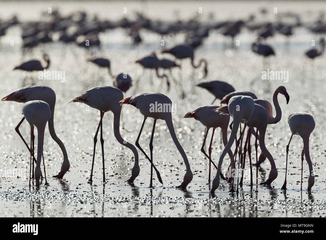 Flamant rose (Phoenicopterus roseus). Se nourrir en filtrant l'eau avec leur bec. À la Laguna de Fuente de Piedra, près de la ville d'Antequera. C'est le plus grand lac naturel de l'Andalousie et l'Europe est qu'à l'intérieur des terres de reproduction pour cette espèce. La province de Malaga, Andalousie, espagne. Photo Stock