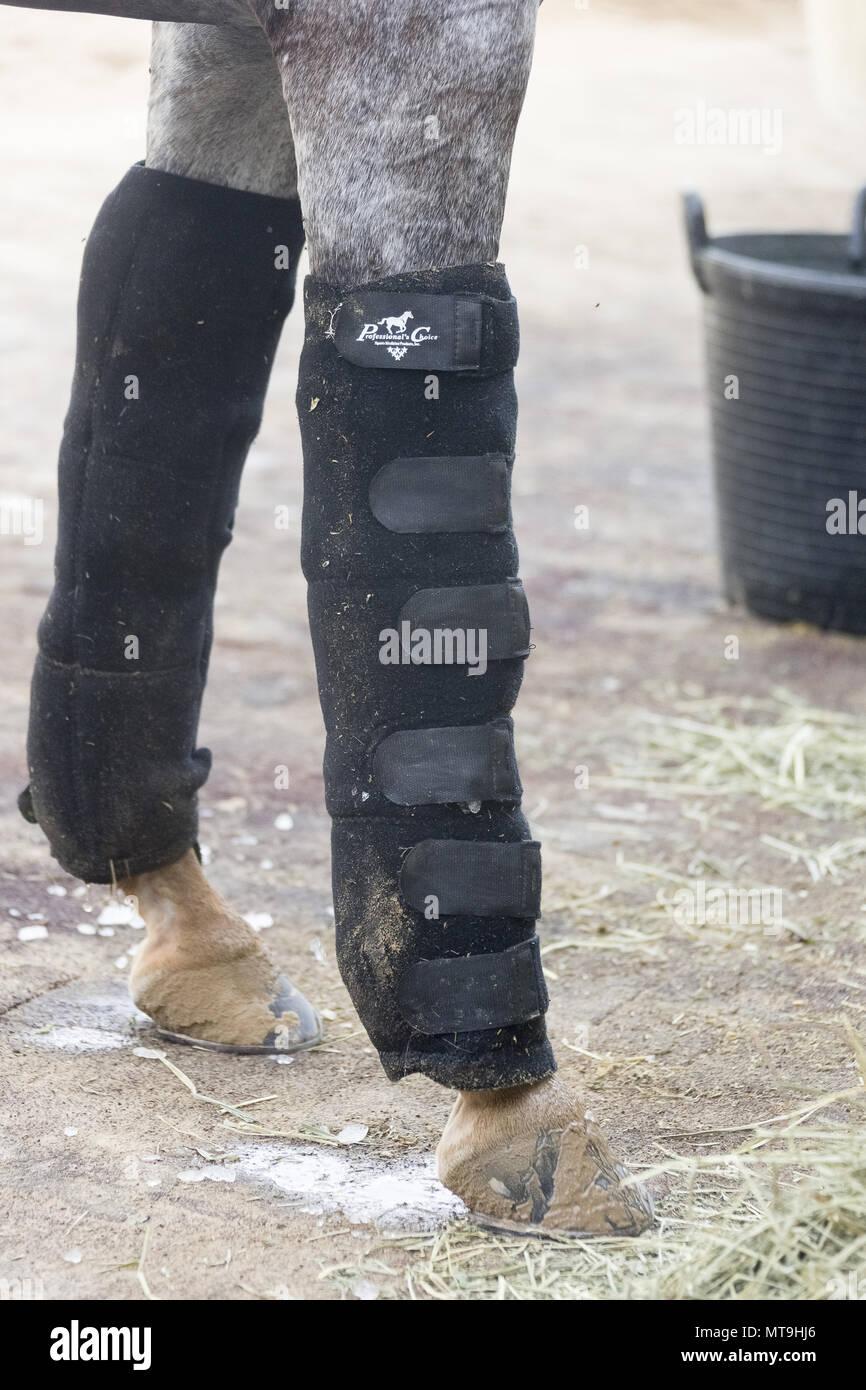Cheval Arabe. Des bandages sur les pattes avant d'un cheval. Abu Dhabi Photo Stock