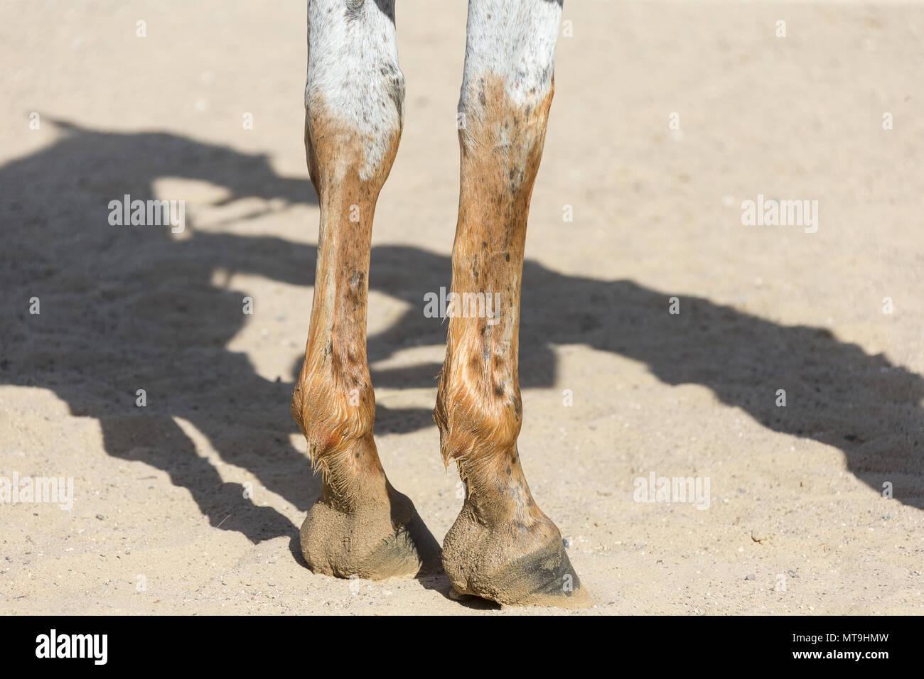 Cheval Arabe. Pattes de devant d'un chevaux teints à l'aide de pâte de henné. Abu Dhabi Photo Stock
