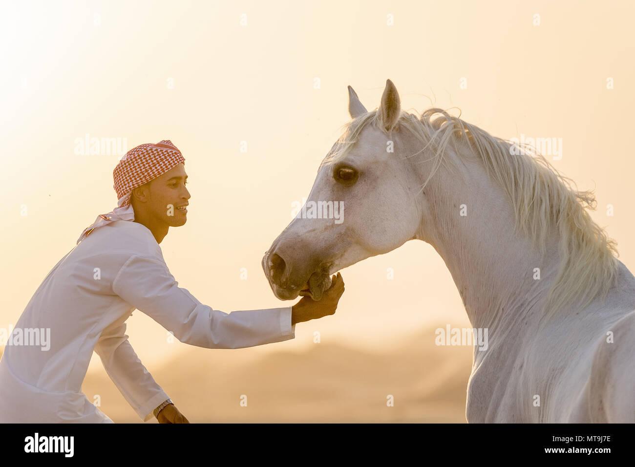 Cheval Arabe. Adultes gris et le marié le lissage dans le désert dans le désert. Abu Dhabi Banque D'Images