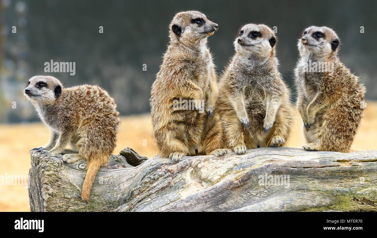 Les suricates mignon debout Photo Stock