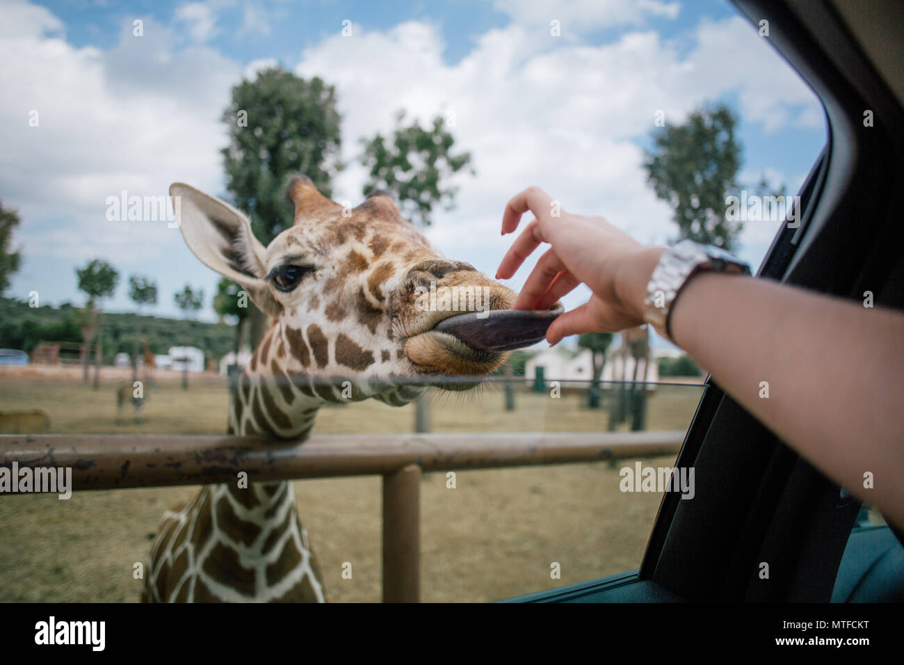 Girafe et main humaine en Pouilles Italie zoo safari Fasano Photo Stock