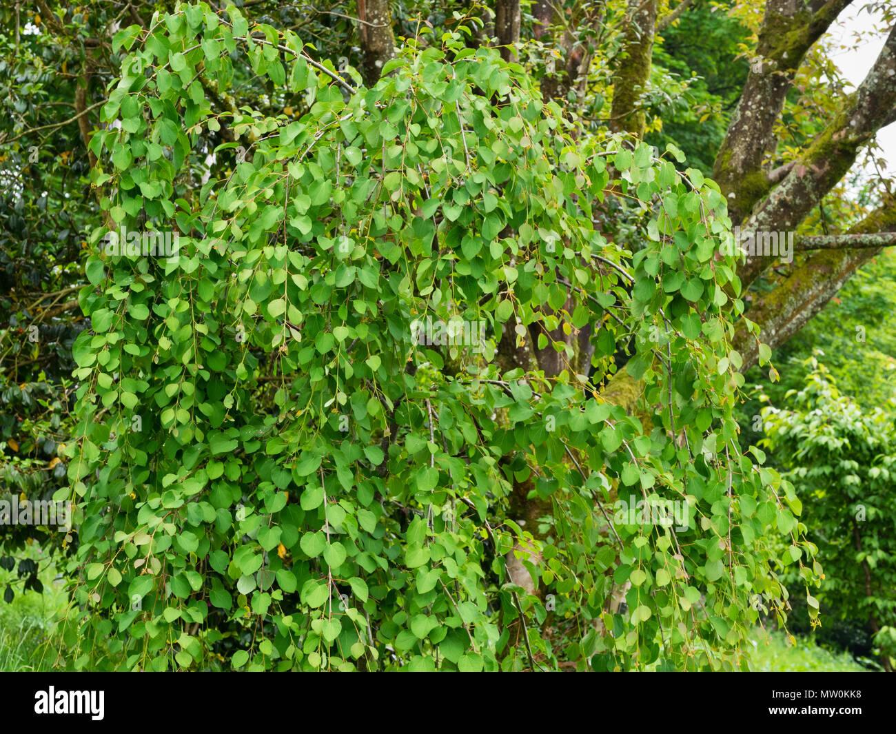 Les jeunes de l'usine sous forme de pleurs, l'arbre Katsura Cercidiphyllum japonicum 'Amazing Grace' Photo Stock